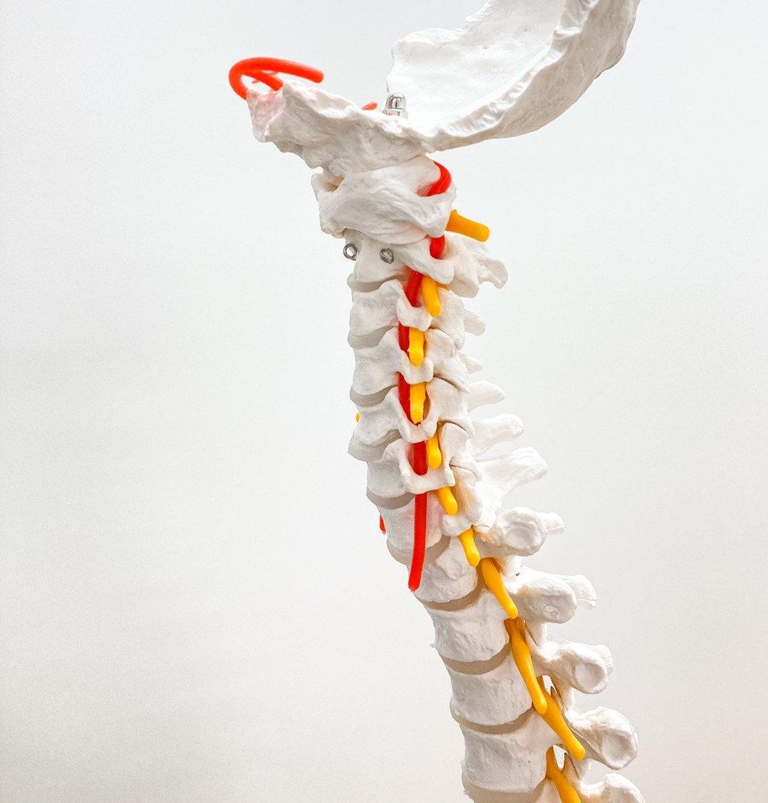 頚部の機能解剖と筋触察