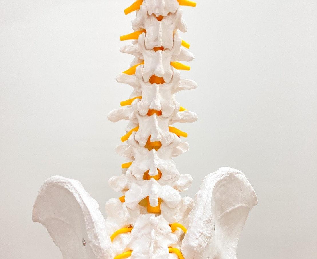腰部の機能解剖と筋触察
