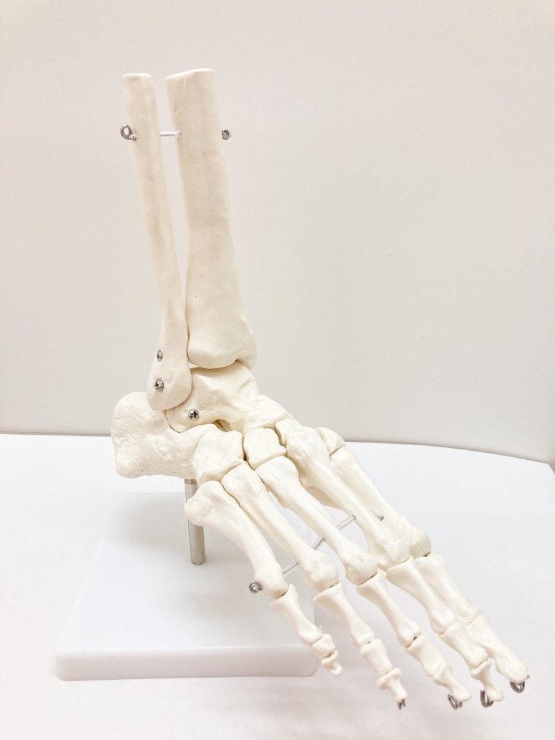 足部の筋触察と機能解剖