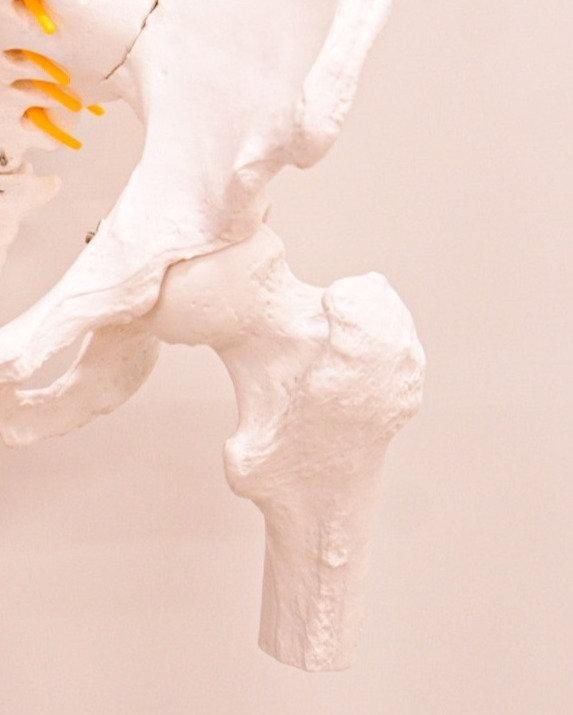 股関節の機能解剖と筋触察