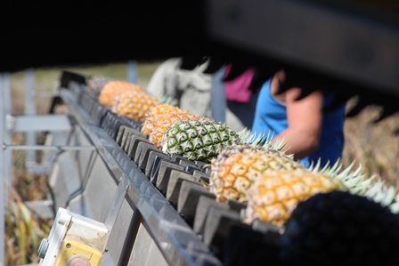 Pineapples on the Conveyor Belt