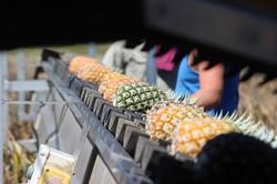 Pineapples on the Conveyor Belt