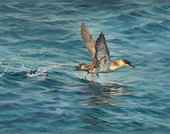 Acceleration - Greater Shearwater, Oil o