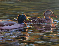 Caught in a Golden Glow - Mallard Pair -