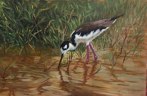 Along the Edges - Black Necked Stilt - 6