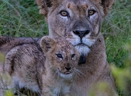 New Lion Life in Laikipia