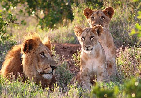 Support african lions and sponsor lion landscapes