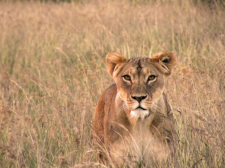 Bella is one of the first lionesses to be collared by Lion Landscapes