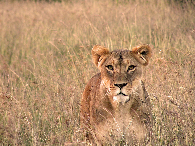 If we don't help to protect the landscapes that this lion lives in,  it won't be long before they become extinct in the wild.