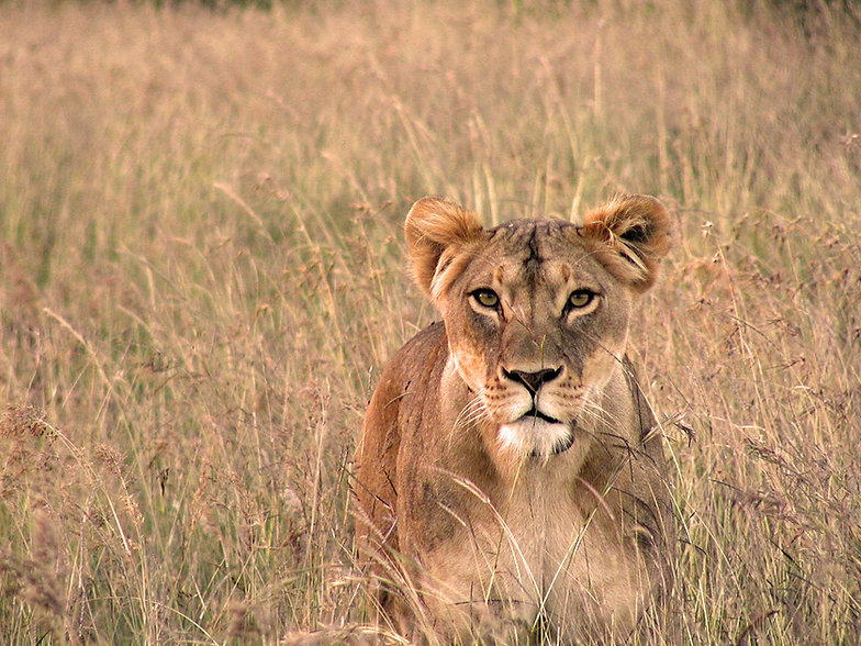 Lion conservation research Africa