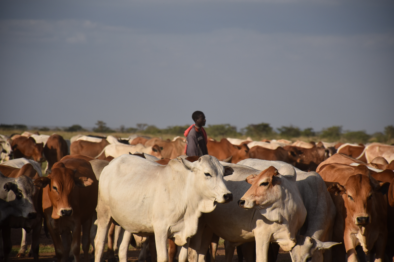 livestock herder