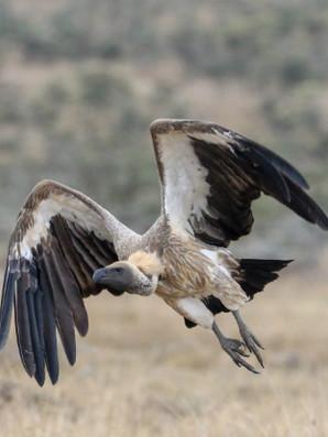 White-backed Vulture (1).jpg