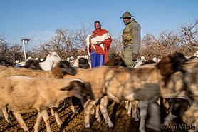 Lion Rangers helps herder and his livestock to co-exist with lion as part of our Lion Rangers Program. Save wild lions. Promote Co-existence. Lion conservation and research Africa.