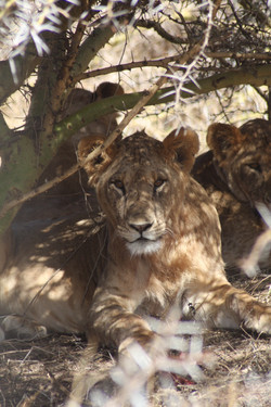 young lions leaving the pride