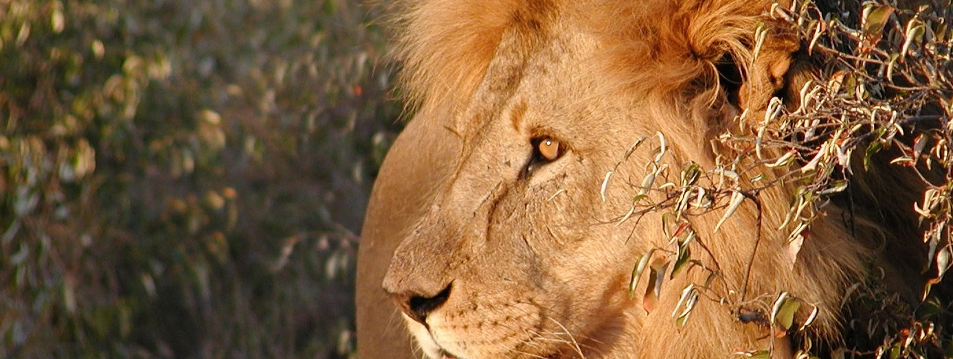 Save wild lions. Promote Co-existence. Lion Conservation and Research Africa.