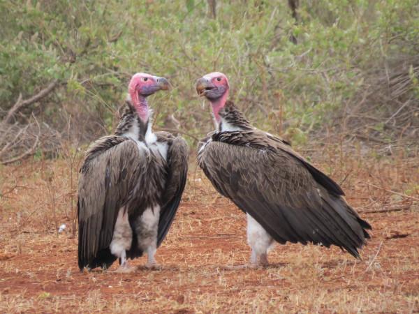 Lappet-faced Vultures (1).jpg