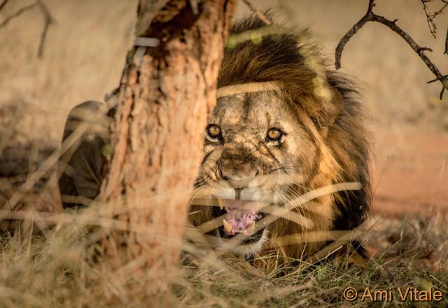 Hidden male lion.