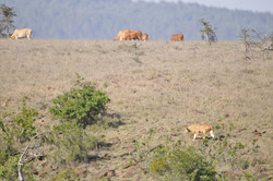 Save wild lions. Promote Coexistence