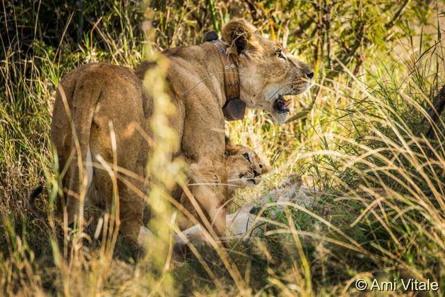 Lioness with cub feeding.