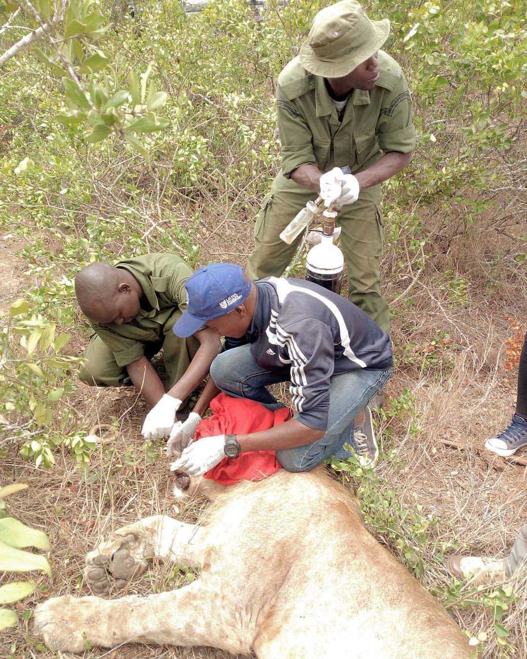 4 Team collaring a lion
