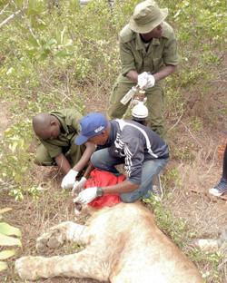 4 Team collaring a lion