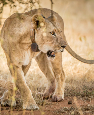 Collared lioness with cub.