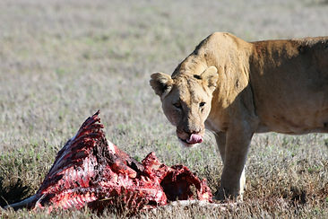 lion on carcass. Save wild lions. Promote Co-existence. Lion conservation Africa.