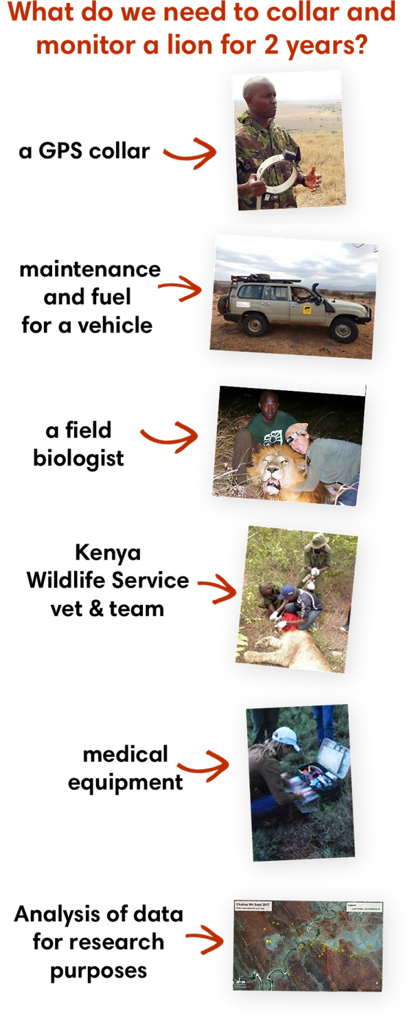Callaring a lion requires a GPS collar, a field biologist, kenya wildlife service Vet and medical equipment.