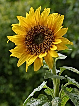 products-a_sunflower-570x760.jpg