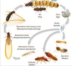 Hamilton-Fynch Termites.jpg