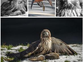 Hawk vs. Squirrel in Eastover