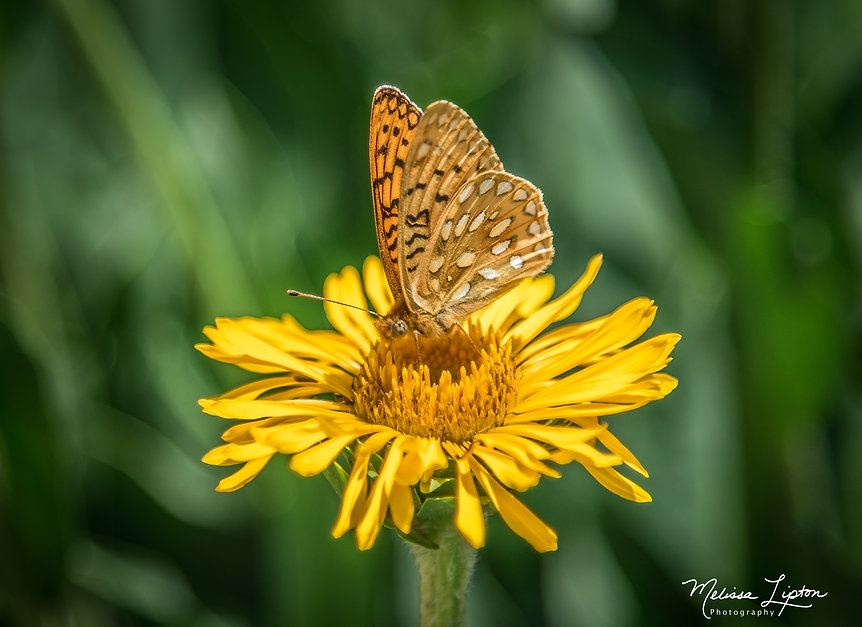 Butterfly on Yellow Flower -  for purcha