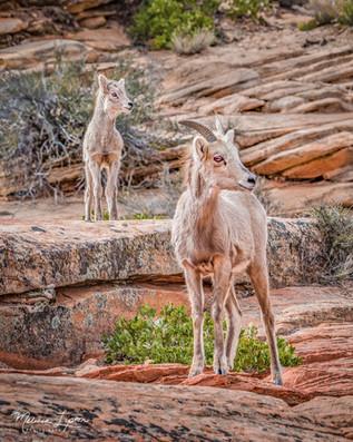 Lamb Lookout
