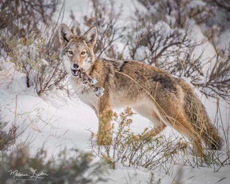 Coyote eating bones