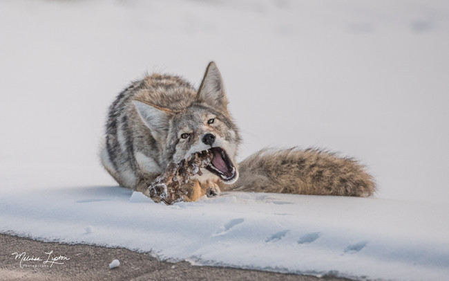 Coyote eating