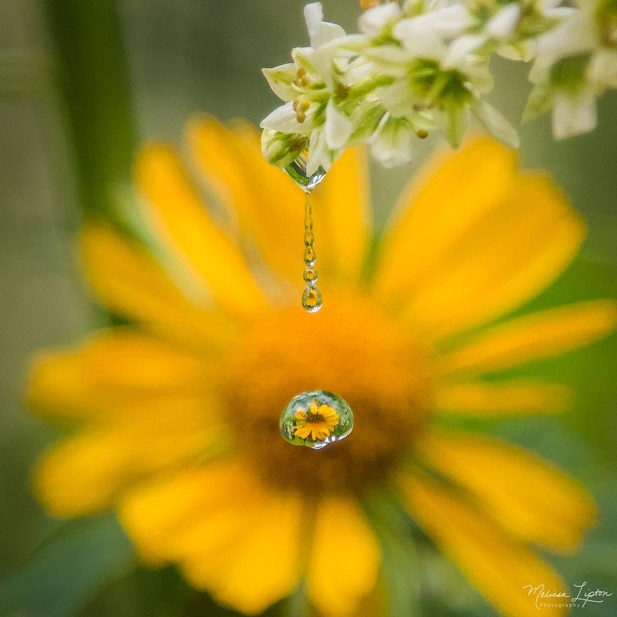 Sunflower Sparkle - Melissa Lipton Photo