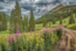 fireweed in crested butte - Melissa Lipt