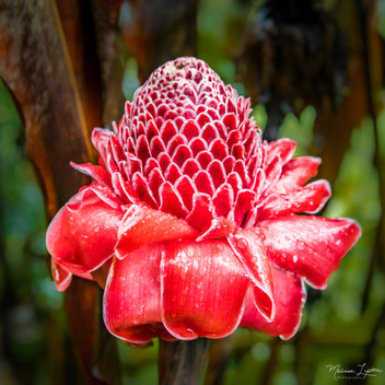 Red Torch Ginger Flower