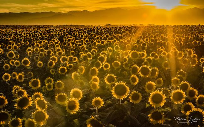 Sunflower Glow - Melissa Lipton Photogra