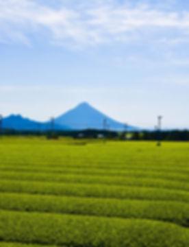 鹿児島のお茶畑