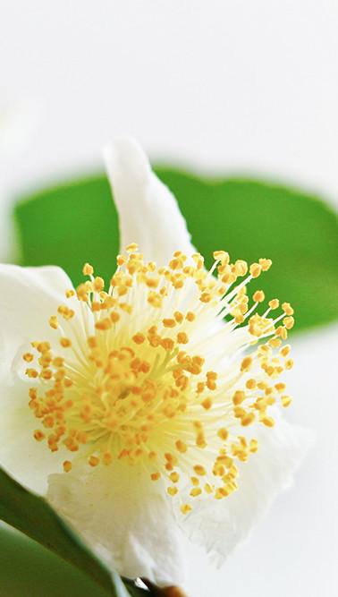 かわいいお茶の花