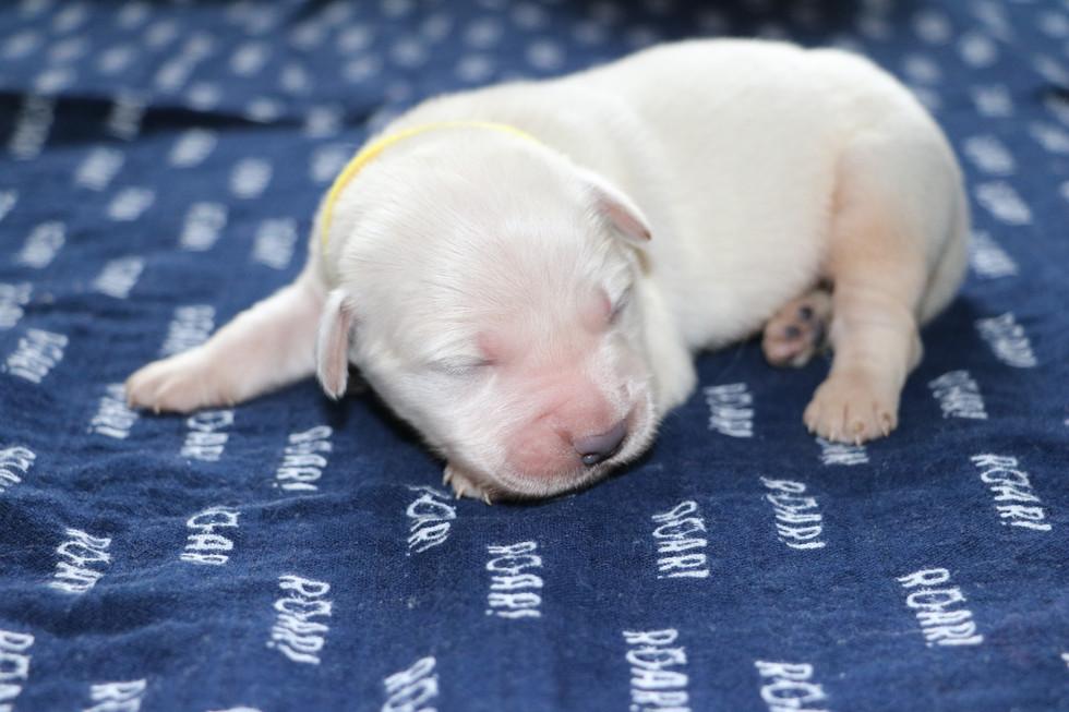 AKC English Cream golden retriever puppies D