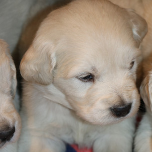 English Cream Golden Retriever Puppy Colorado