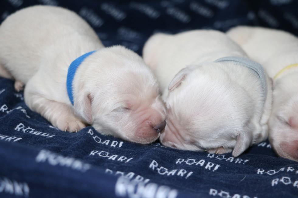 AKC English Cream golden retriever puppies c