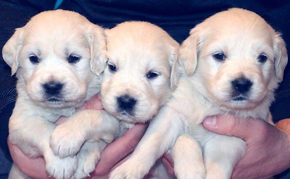 English Cream Golden Retriever Puppies Denver Colorado