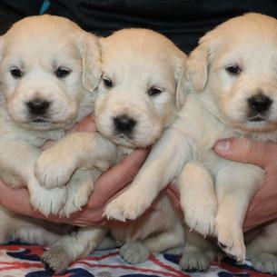 English Cream Golden Retriever Puppies Colorado