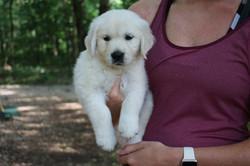 English Cream Golden Retriever Puppy