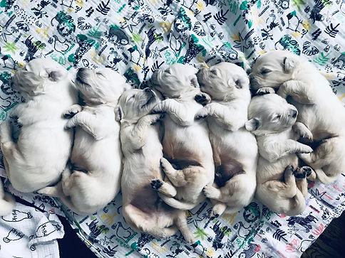 English Cream Retriever Puppies Colorado