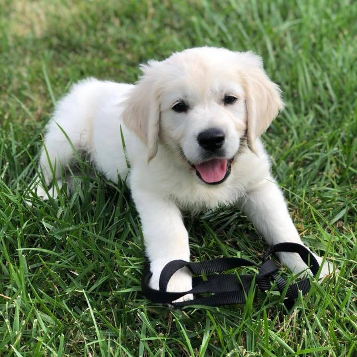 English Cream Golden Retriever Puppies Denver Colorado