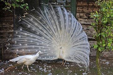 paon blanc.jpg